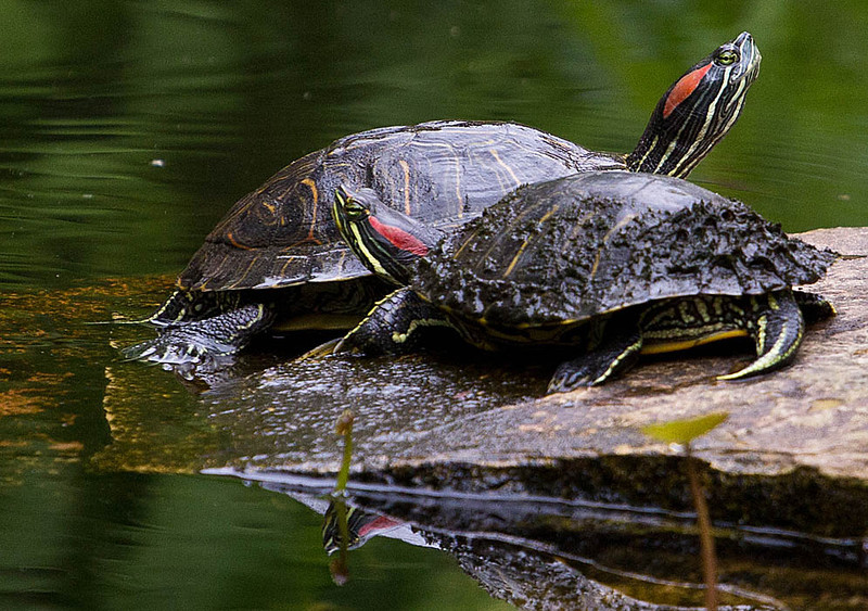 A pair of Red Eared Slider turtles in the pond at the Entrance to the Wildflower Center.
