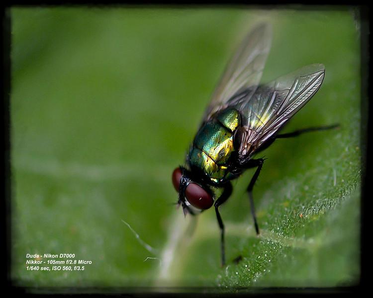 Macro fly - Karen Duda