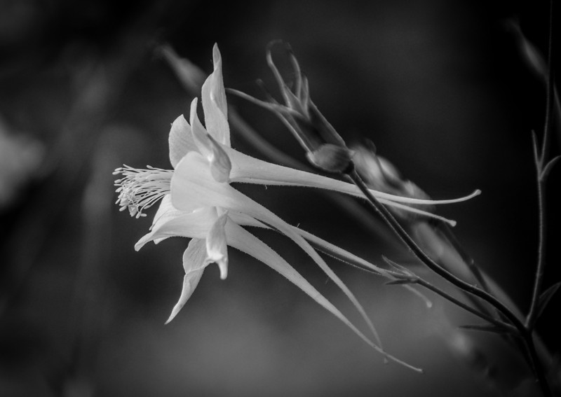 Jill's - some flowers look better in black and white..........