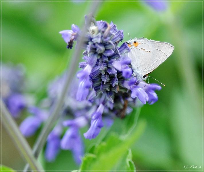 Butterfly...   Cynthia Davis...