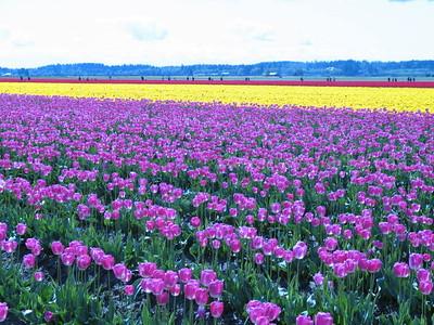 Skagit Tulip Fields 4/15/2007
