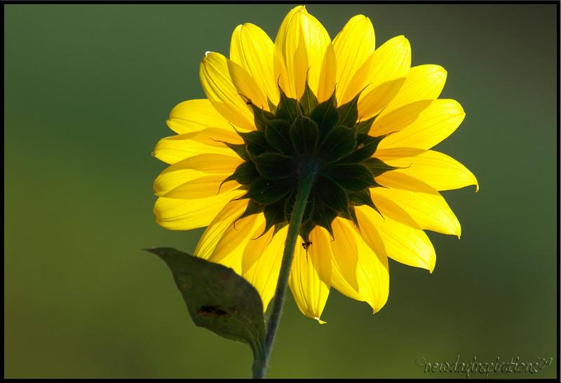 Sunflower Yolo Basin Wildlife Center