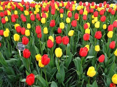 Tulip Fields 2008