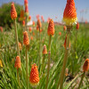 Red Hot Poker plants, also known simply as Poker plants or Torch Lilies