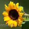 Sunflower - 2