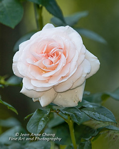 Pink Rose in the Morning Dew