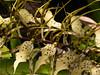 <center><b>Brassia Orchid</b></center>