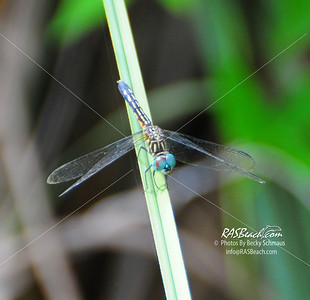 Dragonfly_Blue-Eyed Darner