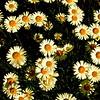 WNC Flowers0003