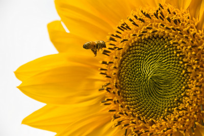 A honeybee aims for a landing in the center of a giant yellow sunflower.