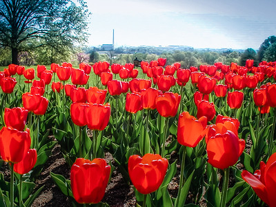 Red Tulips with Lincoln Memorial and Washington Monument