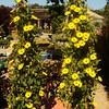 Nice Yellow Flowers in Costa Mesa California