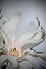 Superstar - star magnolia
