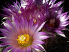 <center><b>Cactus Flowers</b></center>