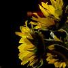 Sunflower Impressions