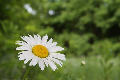 Bright Eyed Daisy