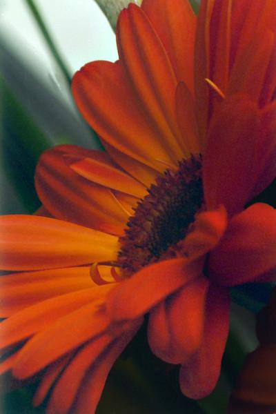 Orange Gerbera, 1998<br /> Film Photography