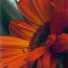 Orange Gerbera, 1998<br /> Film Photography