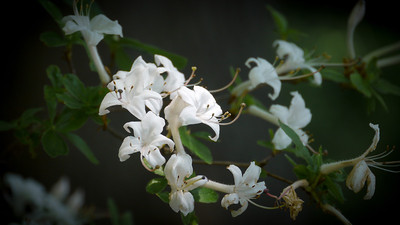 White Forest Blooms