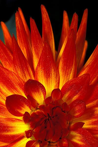 #13 Red Dahlia