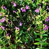 Pretty Purple Flowers in Costa Mesa California