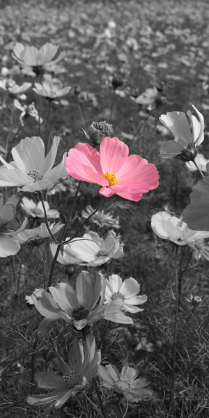 Pink single flowerB vertical crop