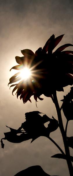 IMG_3823 sun flower verical crop