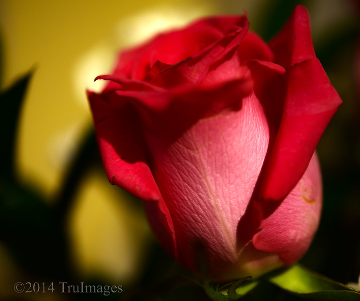 Feb 21<br /> Simple elegance<br /> <br /> A beautiful rose....