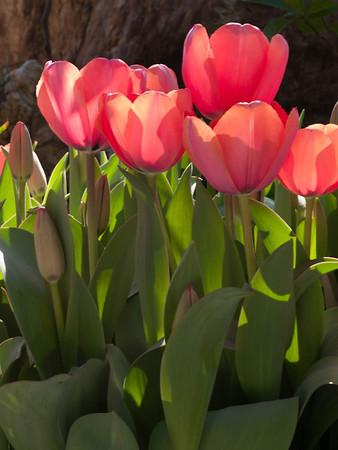 <center><b>Tulips</b></center>