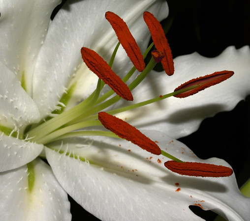 <center><b> Lily - Close up of stamens with pollen </b></center>