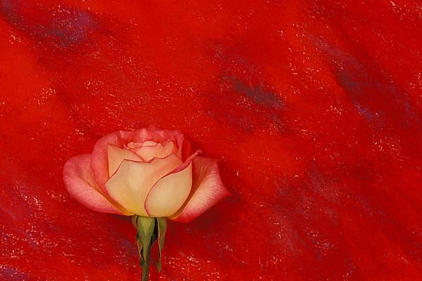 #164 Red Rose 2