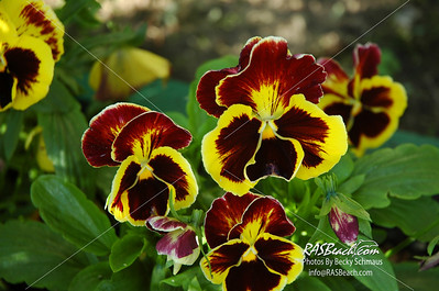 Pansies in Alaska