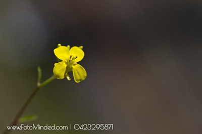 "Flower of mustard plant.   Some of the interesting facts about mustard:  Mustard is one of the world's oldest spices and condiments known to mankind! In India and Denmark, it is believed that spreading mustard seeds around the external sides of the homes keeps away the evil spirits!  The American mustard consumption rate is the highest in the world!  The national mustard day and the mustard festival, are both celebrated on the first Saturday of August every year!  The name mustard is derived from the Latin words 'mustum ardens', meaning 'burning wines' and it is so named due to the unique flavor of the crushed mustard seeds mixed with wine grapes.  The Mount Horab Mustard Museum in Wisconsin is entirely dedicated to the mustard plant! It stores a collection of 5000 jars of mustard, brought from 60 countries and 50 states! One of the most amusing mustard plant facts!  The popular saying, ""can't cut the mustard"" means 'can't live up to a challenge'!   There are no plausible explanations about how this saying originated as mustards are plants that can be easily sliced!  The 'Triangle of U' is a popular theory that establishes the unique relation between various species of mustard plants spread all over the world! It was given in 1935 by Woo Jang-choon, a Korean botanist!  Mustard was known for its medicinal benefits before the popular culinary uses. Greeks used mustard paste to cure toothache, boost appetite and improve blood circulation.  More than 700 million pounds of mustard are consumed worldwide every year!"