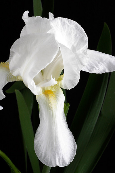 Bearded Iris - White