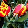 Tulips at Bellagio Botanical Gardens in Las Vegas 14