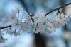 Delicate - cherry blossoms