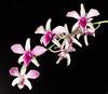 <center><b>Dendrobium </b></center>