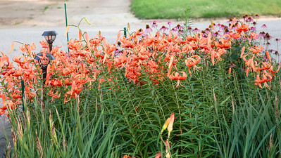 front Tiger Lily garden in now in full bloom