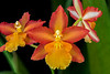 FSF 028 Orchid