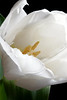 White Tulip Closeup