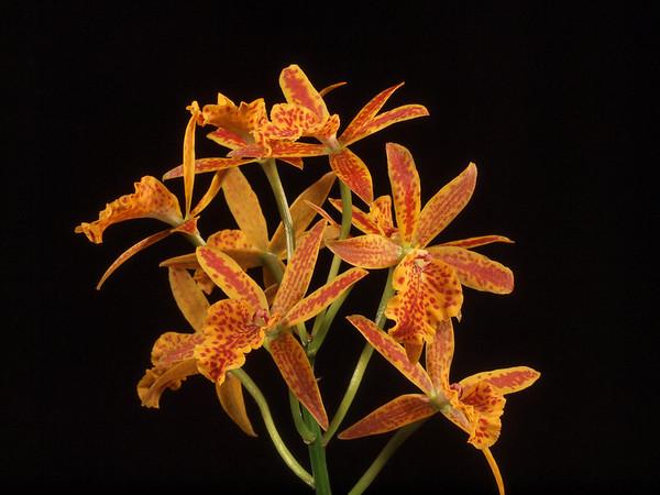 <center><b>Hawaii Orchid - Odontoglossum(?)</b></center>
