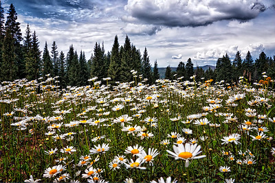 Cloudy Day Meadow