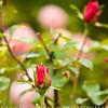 Rose-3105-2