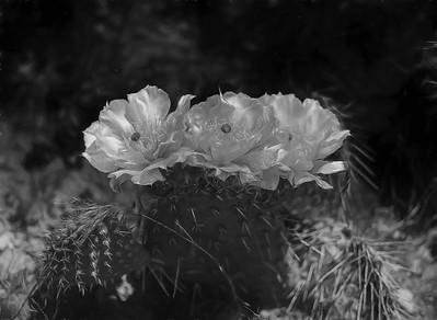 Cactus Flower BW