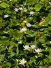 <center><b>Water Lilies</b></center>