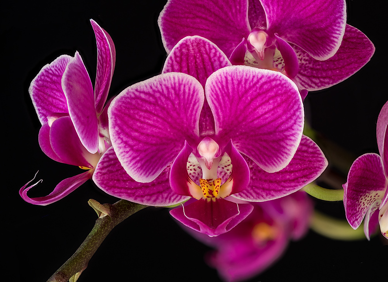 FSF 032 Orchid