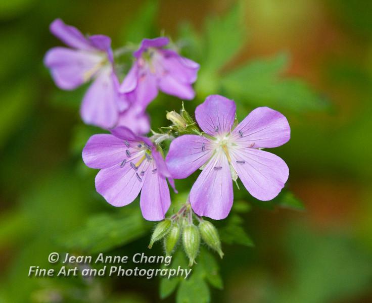 Wild Geranium Blooming Near Edge of Wetlands