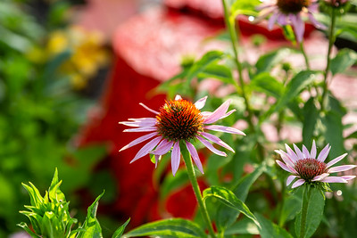 close up of a coneflower blossom in growing in the back garden