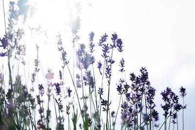 lavender-004
