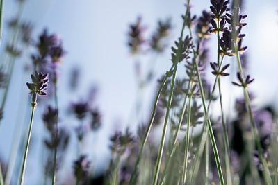 lavender-002